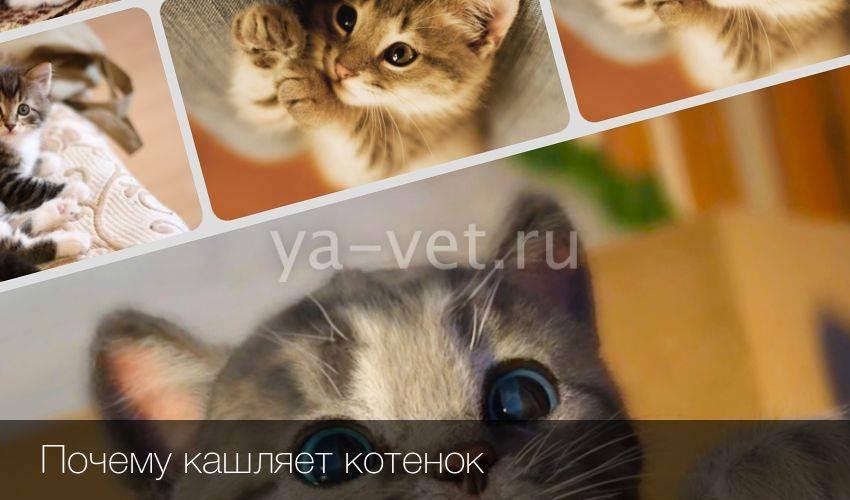 Чихание у котенка: причины рефлекса и что можно сделать в таком случае