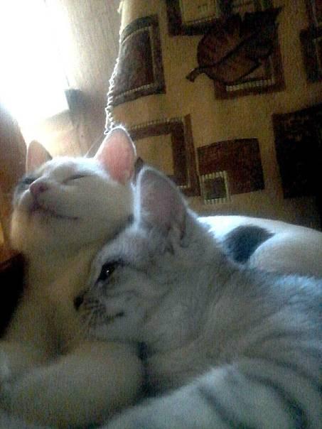 Как подружить кота и кошку, эффективные методы, видео инструкция