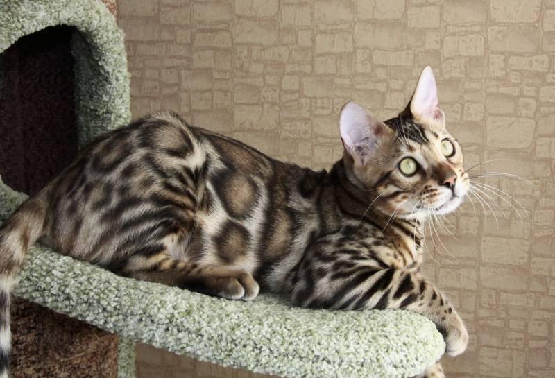 Полный список редких пород кошек и их подробное описание: внешний вид и характер