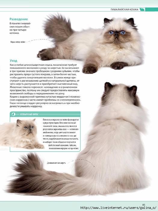Тайская кошка: 130 фото особенностей кормления, достоинства и недостатки питомца