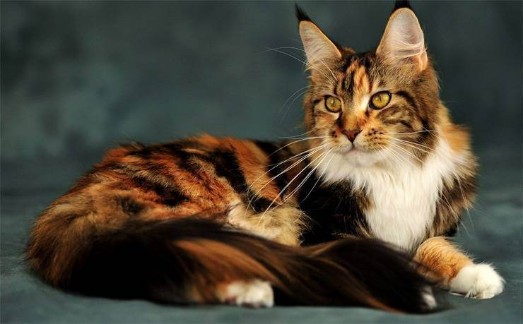 Самые красивые кошки: лучшие породы