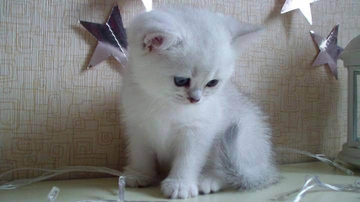 Серебристая британская шиншилла: описание и содержание кошек