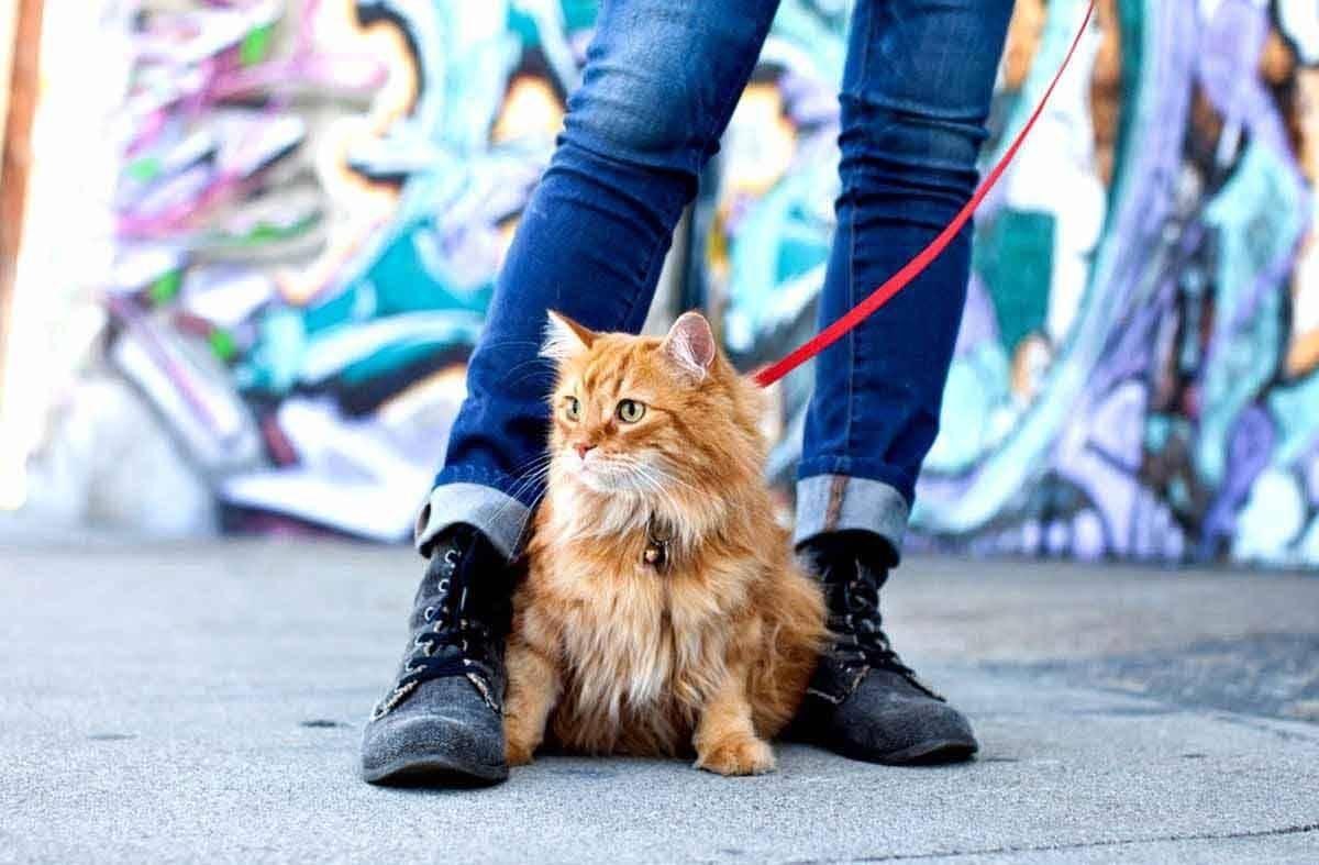 Кошка гуляет - как успокоить в домашних условиях