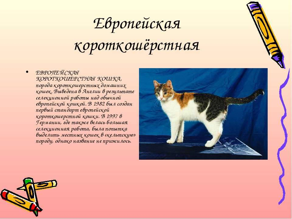 Всё о европейской короткошёрстной кошке