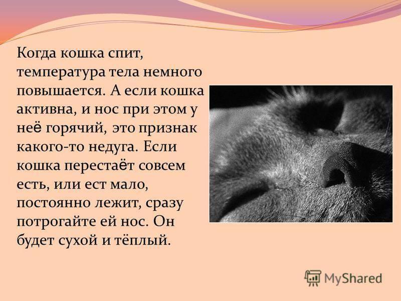 Сухой нос у кошки: когда это норма, а когда первый признак заболевания