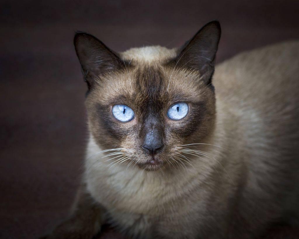 Порода кошек охос азулес: описание, характер, правила содержания и воспитания