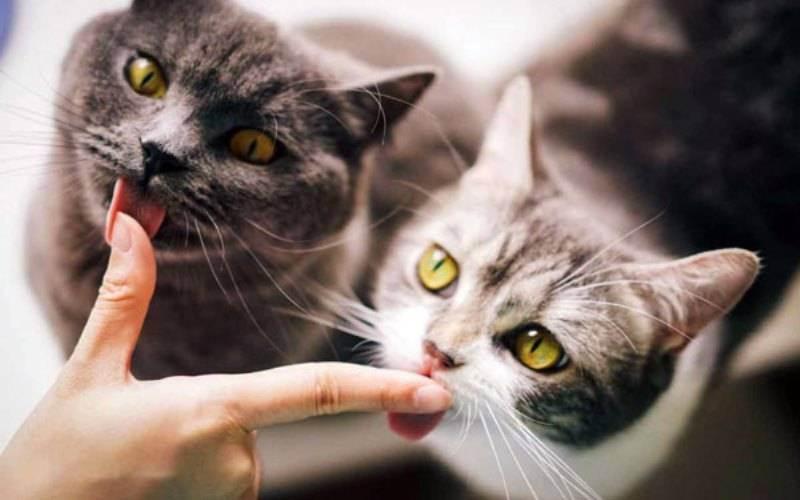 Можно ли давать валерьянку коту или кошке, а если можно, то сколько