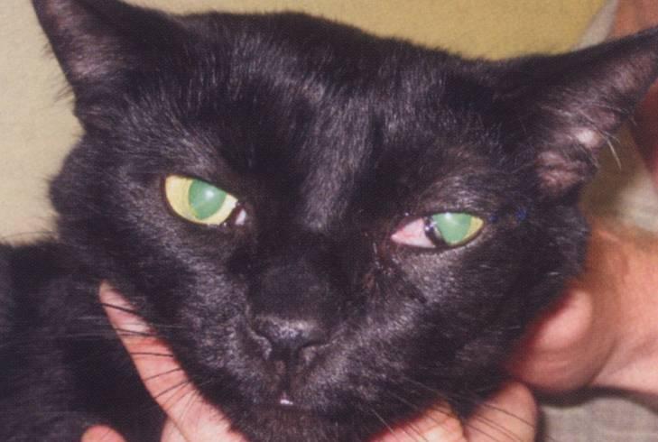 У кота воспалилось третье веко лечение - муркин дом