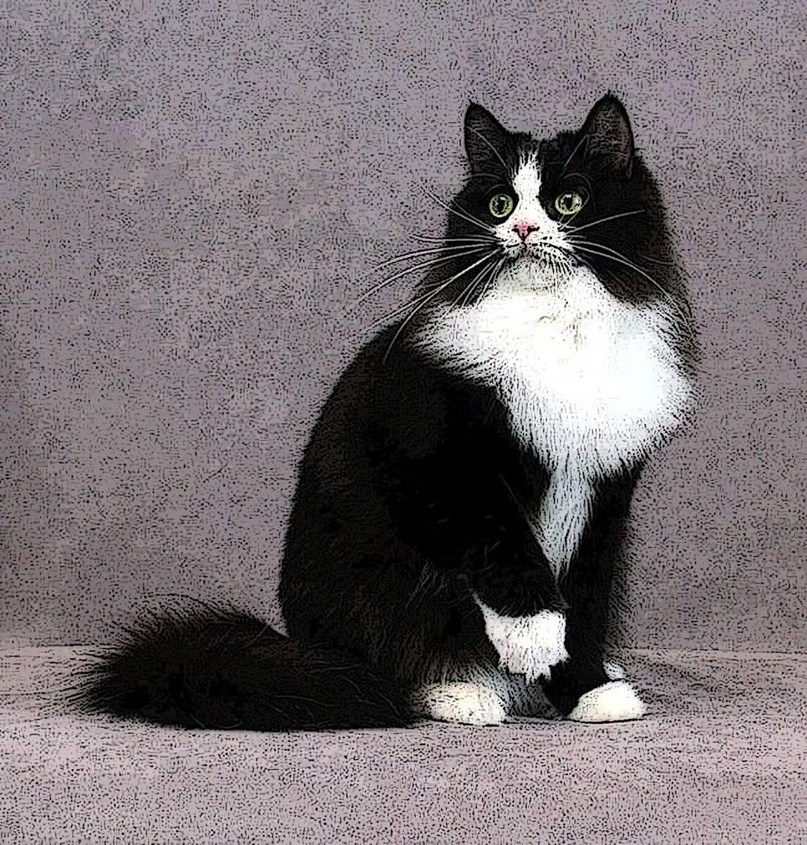 Черно-белые коты и кошки: описание и характеристика породы