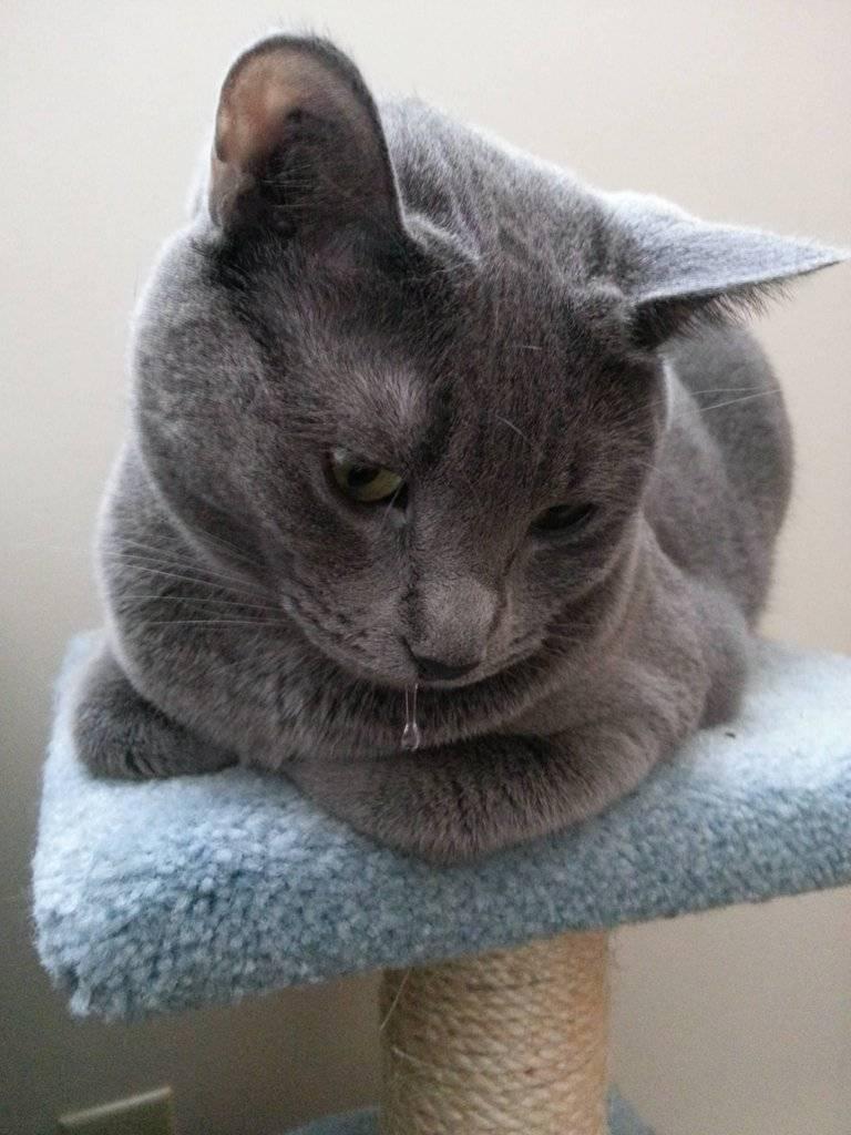 Что делать, если у кошки рвота?