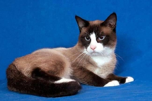 Сноу шу: описание породы и характер кошек