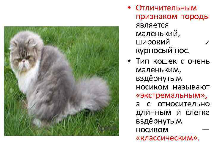 Список длинношерстных пород кошек: фото, описания и названия