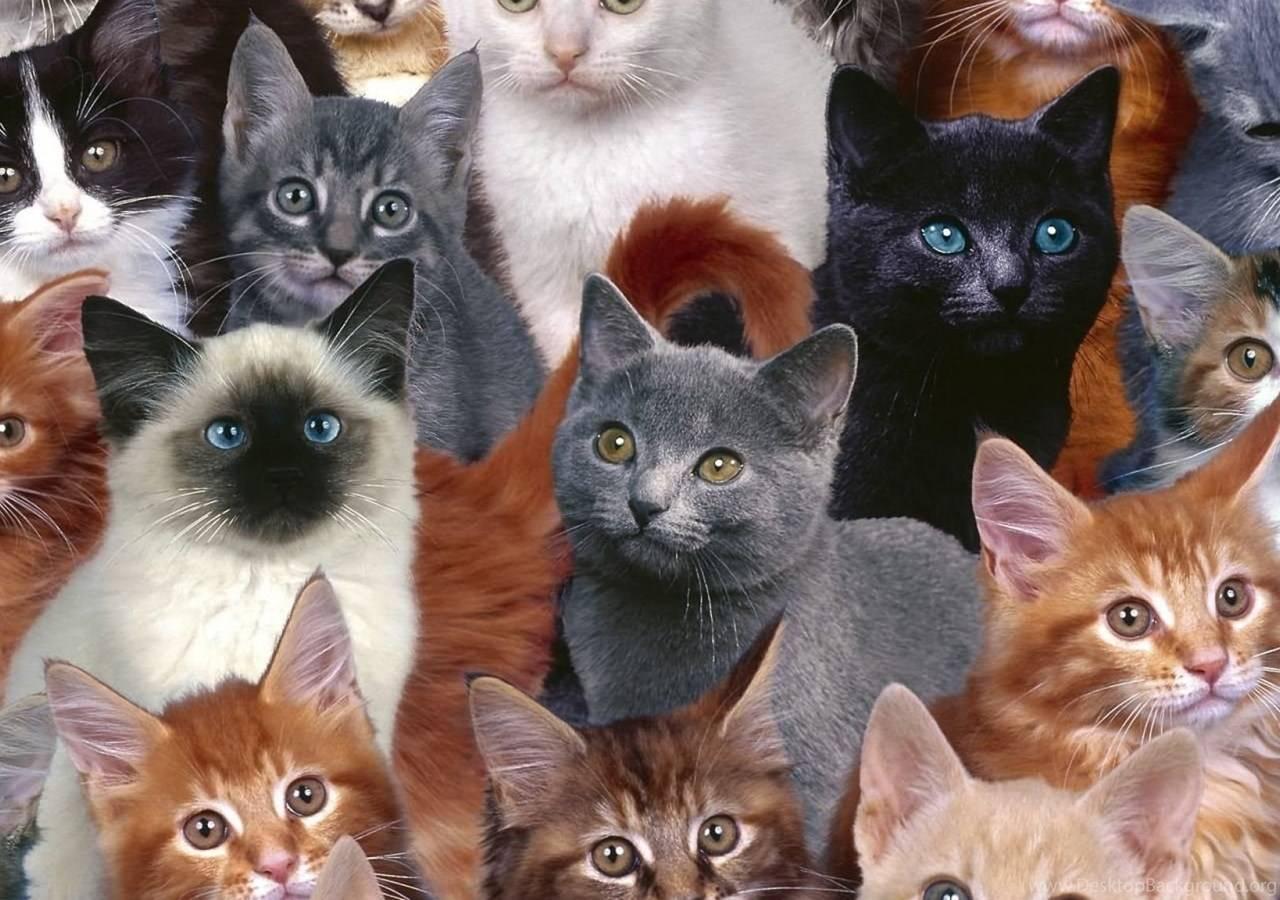 Сколько пород кошек существует в мире: список и описание