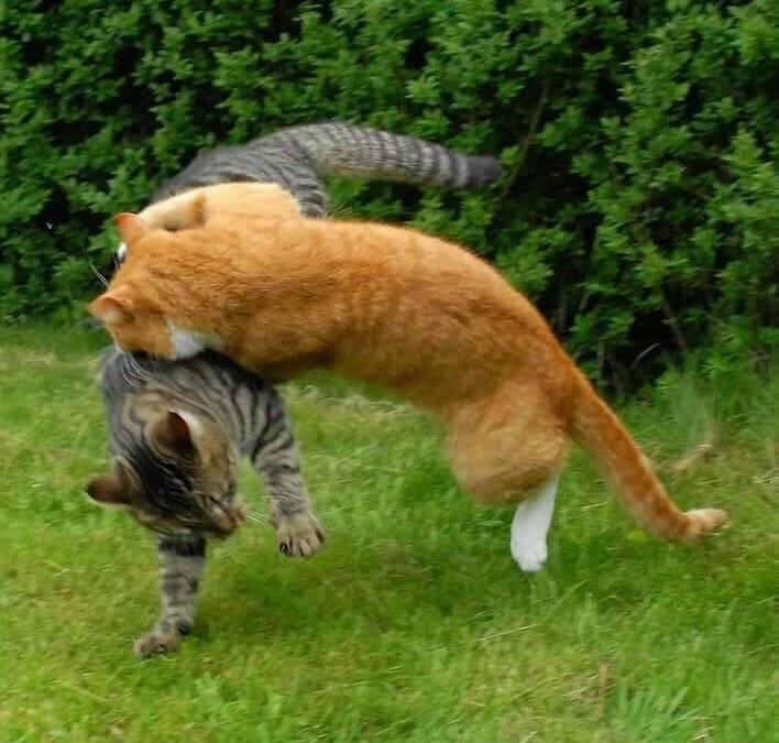 Как понять дерутся кошки или играют