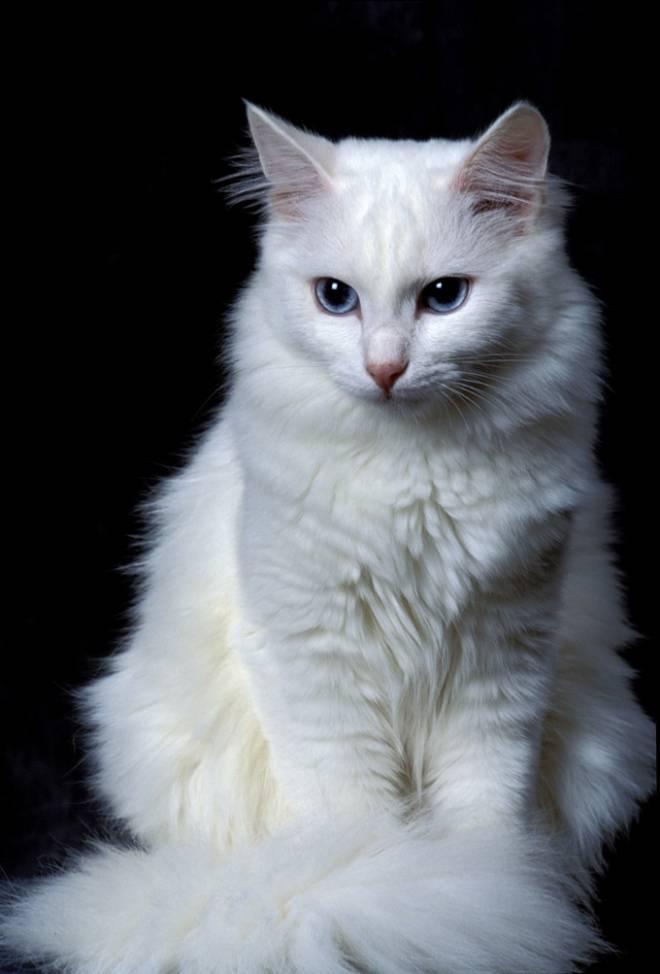 Турецкая ангора — описание породы и характер кошки