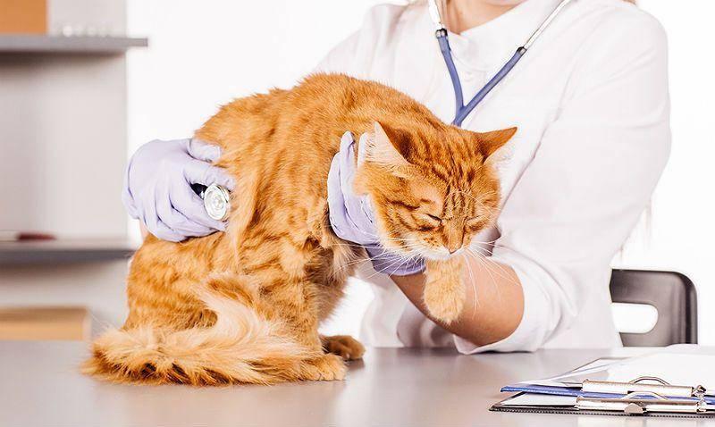 Симптомы и лечение стресса у кошек: как успокоить кота после переезда или посещения ветеринара?