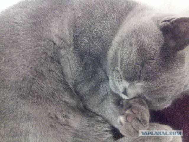Кот храпит во сне: причины и что делать. почему кошка храпит во сне кот начал храпеть во сне - лечение