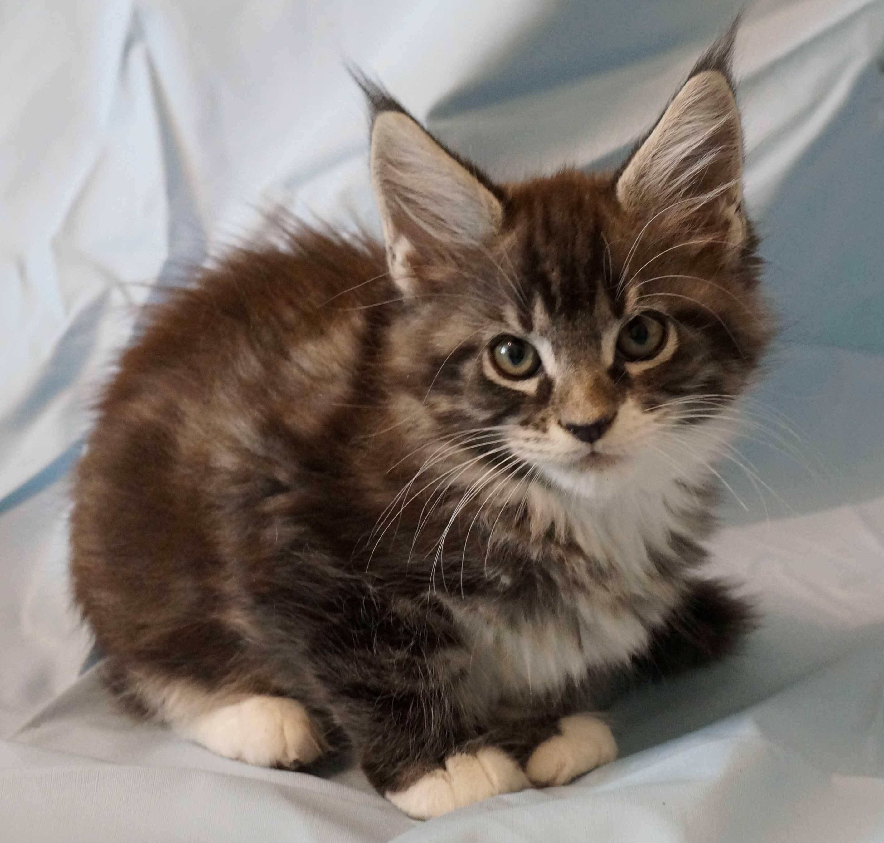Белый мейн-кун (31 фото): особенности содержания котенка и взрослой кошки с голубыми глазами. вариации окраса