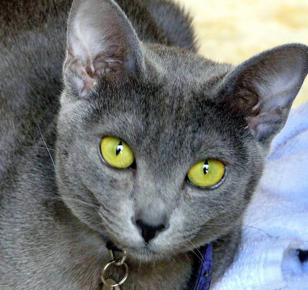 Породы кошки с зелеными глазами - zhivomag