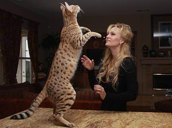 Кошка саванна: описание породы и характера, содержание и уход