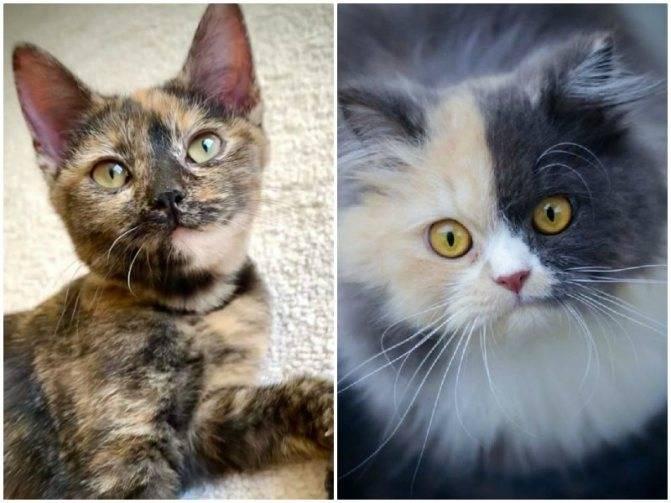 Окрасы шотландских кошек: разновидности, генетика, фото и описание
