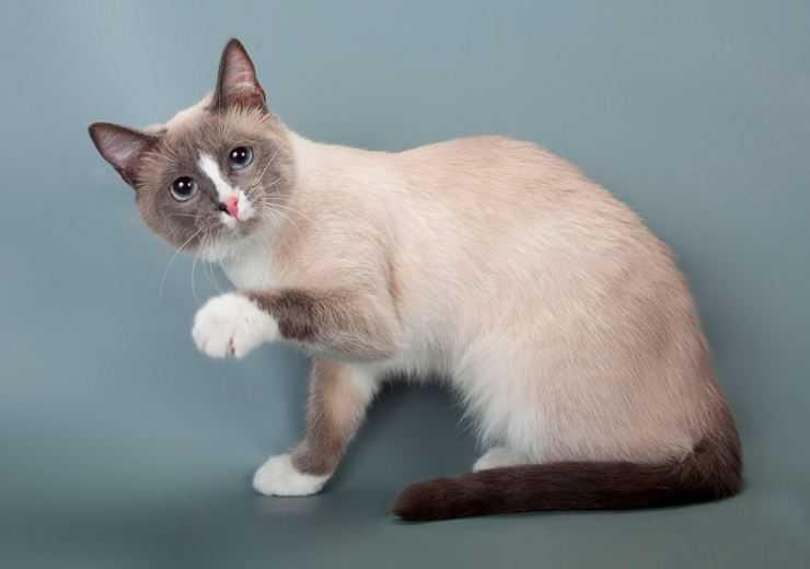 Сноу-шу – редкая порода кошек с белыми лапками, похожими на снежные туфельки