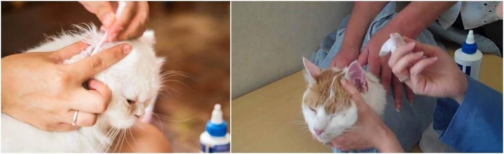 Как правильно чистить уши коту