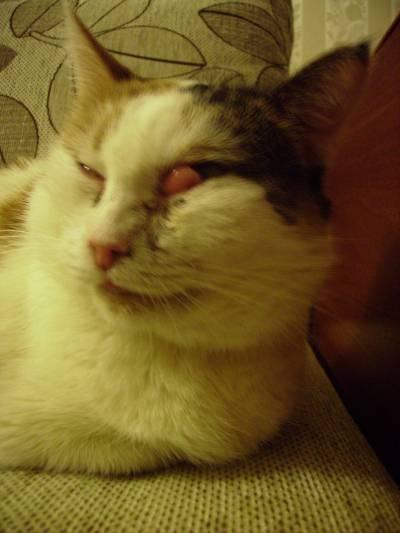 Что делать, если у кошки опухла щека или ее раздуло: причины отеков под глазом и ваши действия