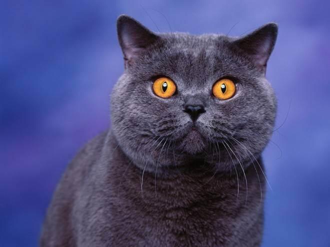 Как назвать британскую кошку