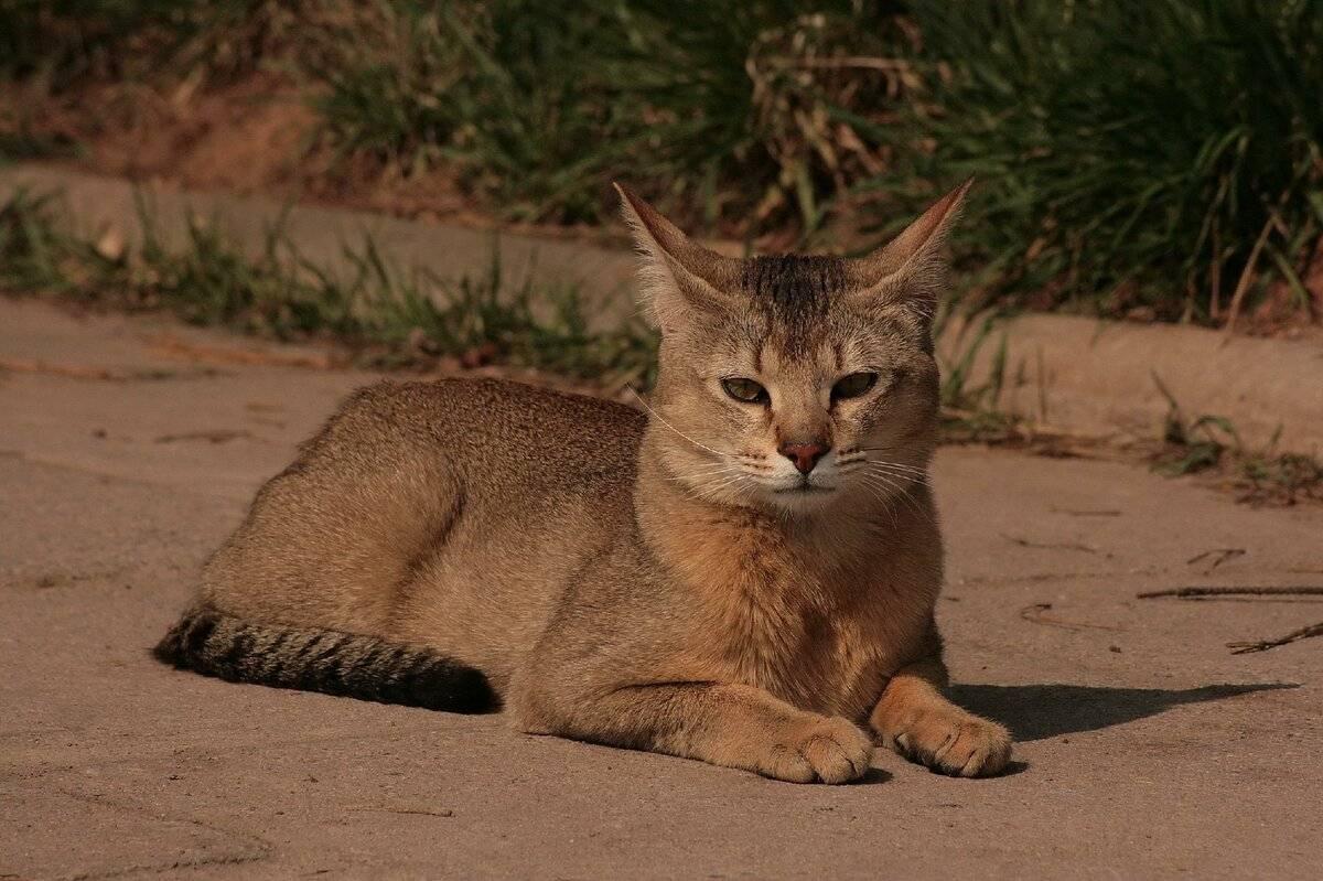 Самые опасные кошки [фото + список пород]
