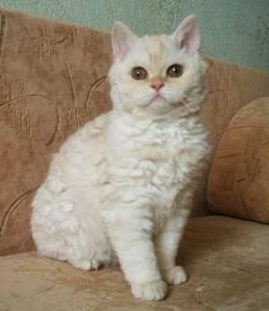 Британские котята, кошки и коты. селкирк рексы.