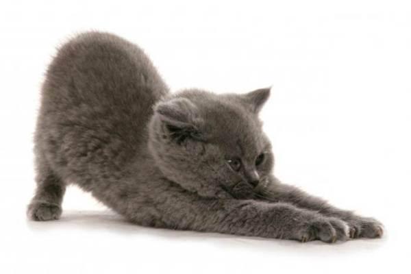 Уход за британским котенком