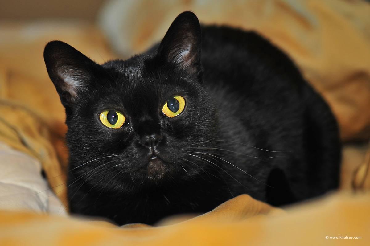 Бомбейская кошка: описание и характер породы, особенности ухода