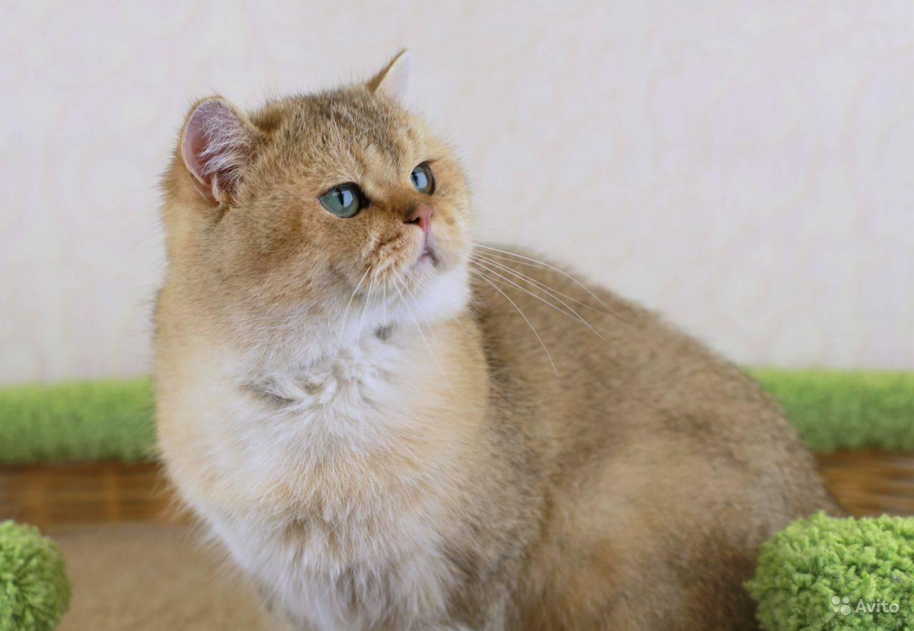 Кошка породы шиншилла (55 фото): описание шиншилловых котов, особенности характера. котята белого и голубого, серого и другого окраса