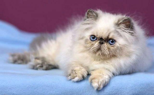 Персидские кошки: характер, уход, продолжительность жизни
