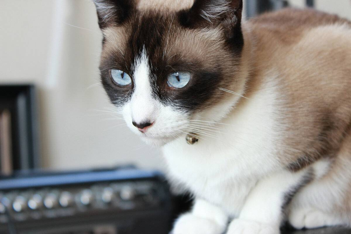 Сноу шу — характеристика кошки и ее описание. 110 фото, видео и советы владельцев