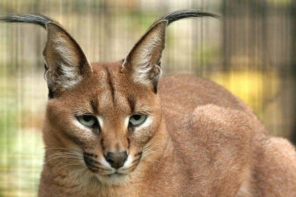 Кошки с кисточками на ушах – домашние и дикие, известные и незнакомые