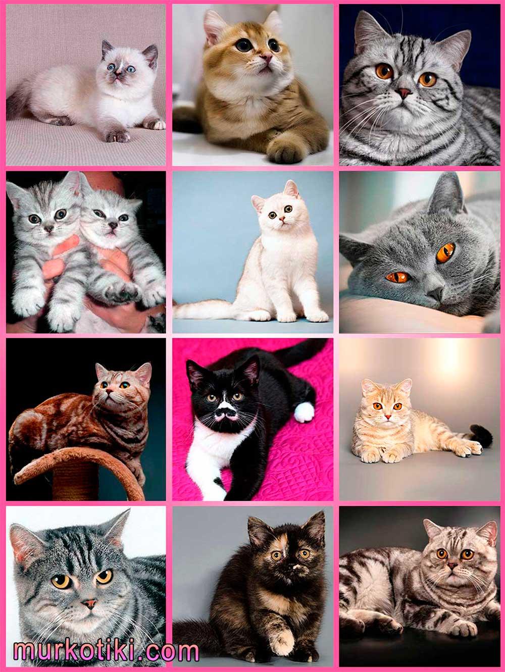Шотландская вислоухая кошка— скоттиш фолд и хайленд фолд