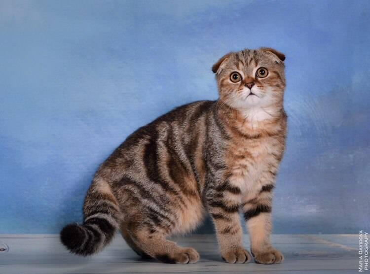 Окрасы шотландских кошек от популярных до самых редких