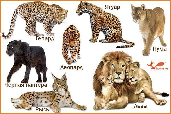 Редкие представители семейства кошачьих, часть 2. каракал