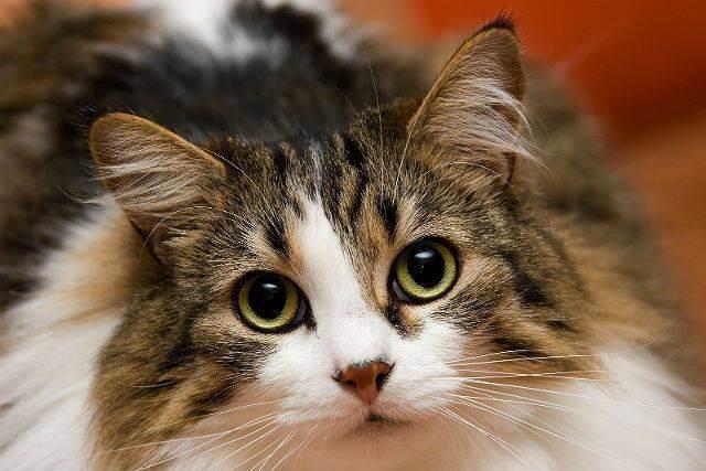 У шотландской или британской кошки понос: причины и лечение. что делать, если обнаружили у котенка недержание кала? у котенка не держится кал