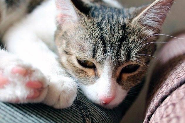 Может ли кошка простудиться и как её лечить от простуды?