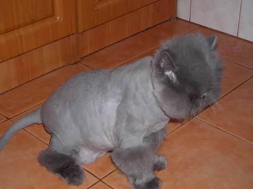 Правильно подстригаем кота в домашних условиях, если он не даётся: используем машинку
