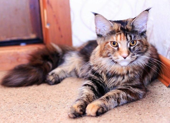 Кошка черепаховая: разновидности окраса, суеверия и приметы, особенности характера, фото