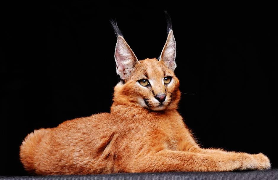 Внешний вид, особенности поведения и стоимость породы кошек каракал