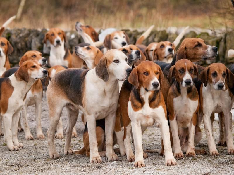 Русская пегая гончая — собака-ищейка англо-русских кровей