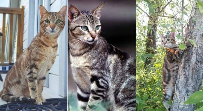 Кошка породы шартрез, или картезианская: описание с фото, рекомендации по уходу за животным
