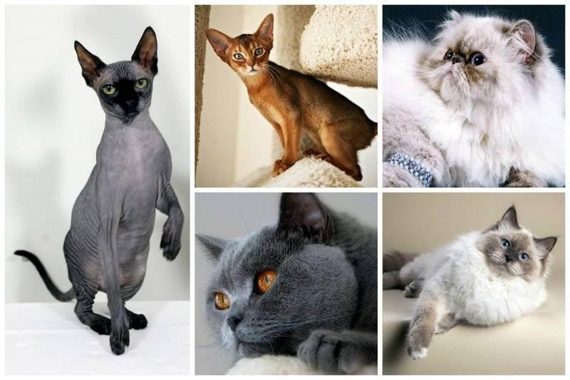 Самая большая порода кошек в мире описание фото рейтинг