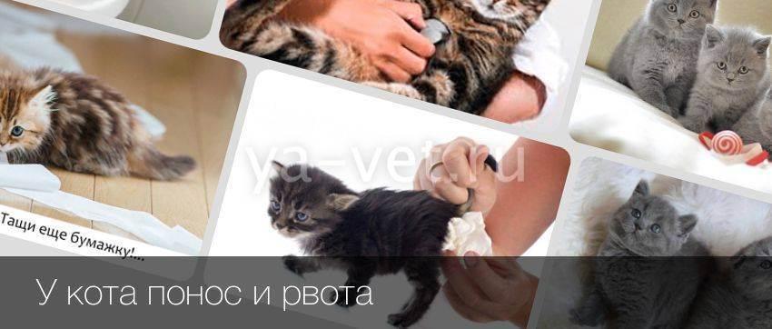У кота понос и рвота: что делать в домашних условиях, лечение