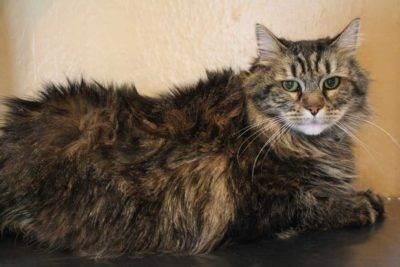 Шотландские кошки: характер, уход и возможные болезни. шотландская порода кошек